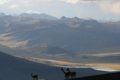 Vicunas on the Peruvian Altiplano